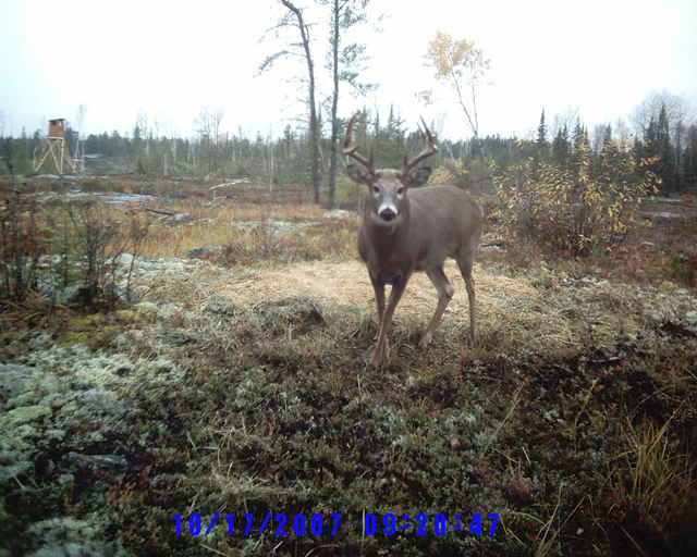 Whitetail Deer can be viewed and photographed from a number of places at and around Harris Hill Resort.: We have some tower stands and grounds huts set up that make it suitable for inclement weather, and also makes it less likely to scare the deer.