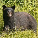 Black Bear are native to this area: Northwestern Ontario Wildlife