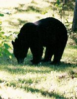 Bear Hunt, Ontario Bear Hunting, Ontario Hunting